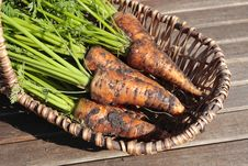 Free Bunch Of Carrots Royalty Free Stock Images - 6671229