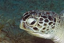 Free Green Turtle (chelonia Mydas) Stock Images - 6672154
