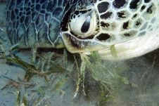 Free Green Turtle (chelonia Mydas) Royalty Free Stock Images - 6672179
