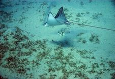 Free Spotted Eagle Ray (Aetobatus Narinari) Royalty Free Stock Photos - 6672228