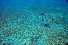 Spotted Eagle Ray (Aetobatus Narinari) Stock Photography