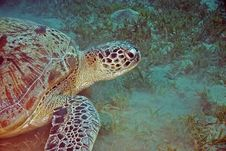 Free Green Turtle (chelonia Mydas) Royalty Free Stock Images - 6672279