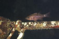 Tiger Cardinalfish (cheilodipterus Macrodon) Stock Images