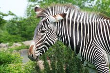 Free Zebra Flicking Ears Royalty Free Stock Images - 6672549