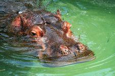 Free Hippo Eyes Royalty Free Stock Photography - 6672557