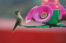 Free Hummingbird Sitting Stock Photography - 6672562