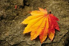 Colorful Japanese Maple Leaf In Autumn