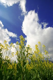 Yellow Rape Field Under The Sky Stock Photography