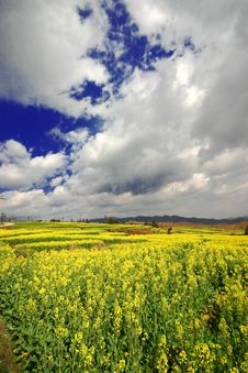 Yellow Rape Field Under The Sky Royalty Free Stock Photos