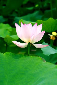 Free LOTUS Stock Images - 6673654