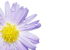 Free Daisy With Dew Royalty Free Stock Photography - 6673697