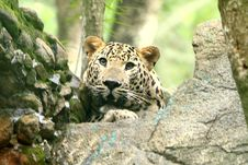 Free Leopard Royalty Free Stock Photography - 6673707