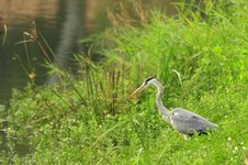 Free Grey Heron Stock Image - 6673851