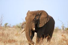 Free Old African Elephant Bull Stock Photos - 6674113