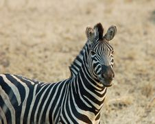 Free Zebra Stock Photography - 6674192