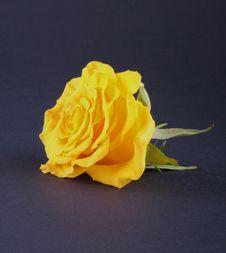 Free Yellow Rose Stock Image - 6674901