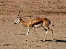 Free Springbok Antelope (Antidorcas Marsupialis) Royalty Free Stock Image - 6674906