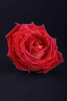 Free Red Rose Royalty Free Stock Photography - 6674907