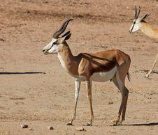 Free Desert Animals Stock Photo - 6675320