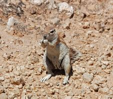 Free Ground Squirrel (Xerus Inaurus) Stock Photos - 6675373