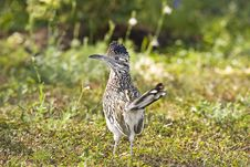 Free A Roadrunner Stops And Looks Royalty Free Stock Photos - 6675388