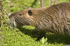 Free A Nutria Feeding On Plants Stock Photography - 6675412