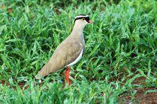 Crowned Plover (Vanellus Coronatus) Royalty Free Stock Photos