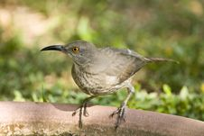 A Thrasher Perched On A Bird Bath Stock Photos