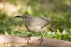 Free A Thrasher Perched On A Bird Bath Stock Photos - 6675523