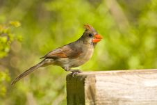 Free A Cardinal Perched On A Feeder Stock Photography - 6675582