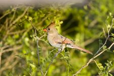 Free A Cardinal Perched In A Tree Royalty Free Stock Photo - 6675655