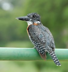 Giant Kingfisher (Megaceryle Maxima) Royalty Free Stock Image