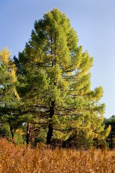 Free Autumn Larch Royalty Free Stock Images - 6675679