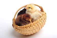 Free Chicks In Basket Royalty Free Stock Photo - 6675985