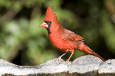 A Cardinal Perched On A Bird Bath Royalty Free Stock Images