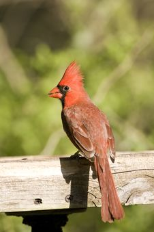 Free Cardinal Perched On A Feeder Royalty Free Stock Images - 6676259
