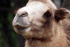 Free Camel Stock Image - 6677641