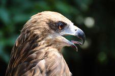 Free Eagle Stock Image - 6677841
