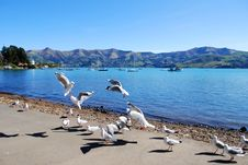 Free Flight Of Seagulls At Akaroa,new Zealand Stock Photography - 6677972
