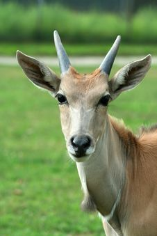 Close Up Of A Curious Eland Royalty Free Stock Photography
