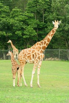Mother And Child Giraffes Royalty Free Stock Image