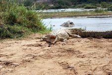 Free Crocodile Royalty Free Stock Photo - 6678505