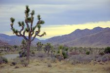 Free Joshua Tree National Park Royalty Free Stock Image - 6678676