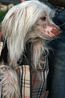 Chinese Crested Dog In Bag Royalty Free Stock Photography