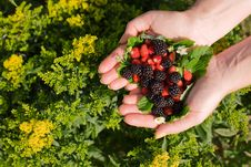 Free Wild Strawberries And Blackberries In Hands Royalty Free Stock Images - 6679409