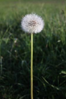Free Dandelion Stock Images - 6679464