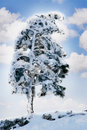 Free Pine Tree Covered With Snow Royalty Free Stock Photo - 6680495