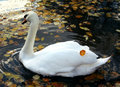 Free Swimming Swan In Autumn Park Stock Photos - 6685823