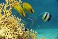 Free Masked Butterflyfish (chaetodon Larvatus) Stock Image - 6687331