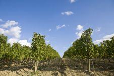 Free Vineyards Stock Photos - 6680573